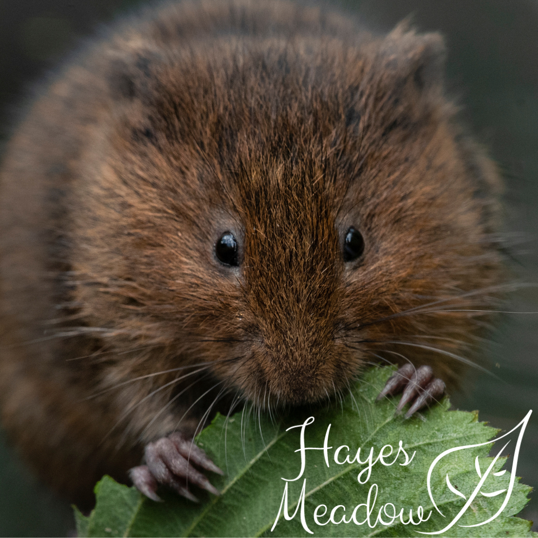 Hayes Meadow Water Vole Sanctuary & Release